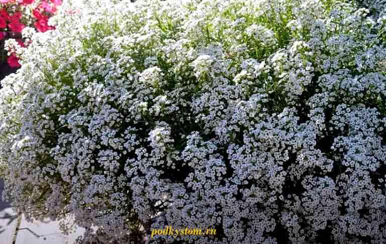 Красивые-неприхотливые-цветы