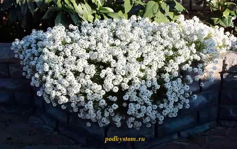 Неприхотливые-цветы-для-сада